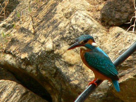 blue-orange-bird1