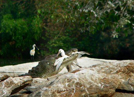 crok-catching-a-bird